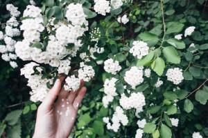 Fleurs blanches main